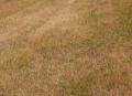 �耕起前除草処理後のタンポポ